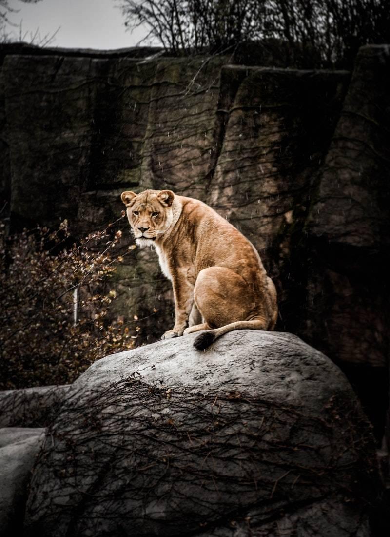 Ormanların Kralı Aslanlar! 10