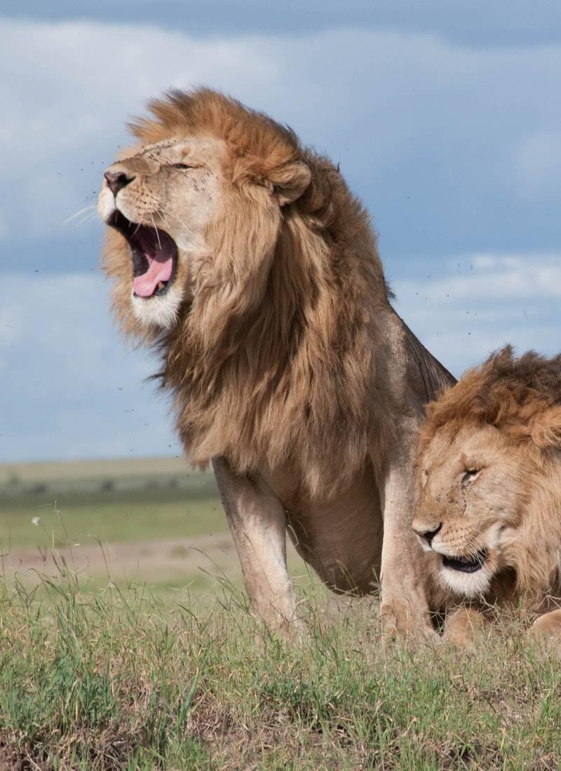 Ormanların Kralı Aslanlar! 13