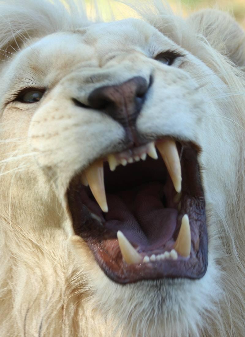 Ormanların Kralı Aslanlar! 14