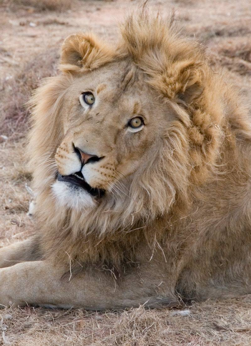 Ormanların Kralı Aslanlar! 16