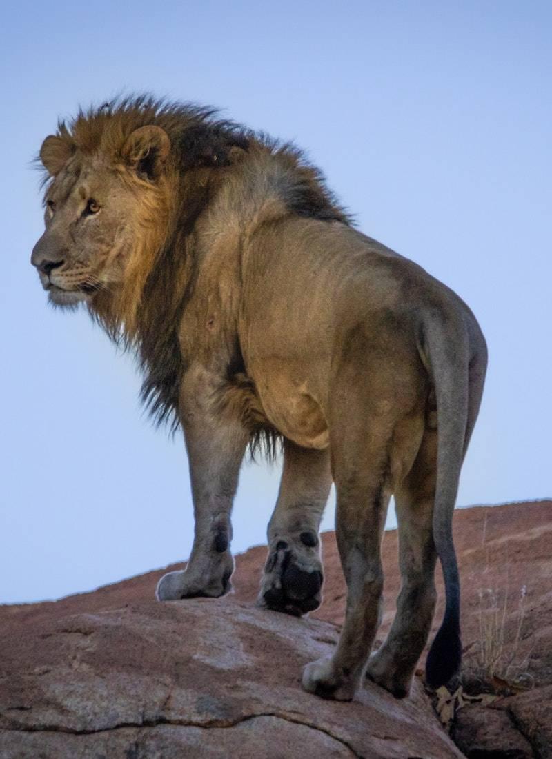 Ormanların Kralı Aslanlar! 17