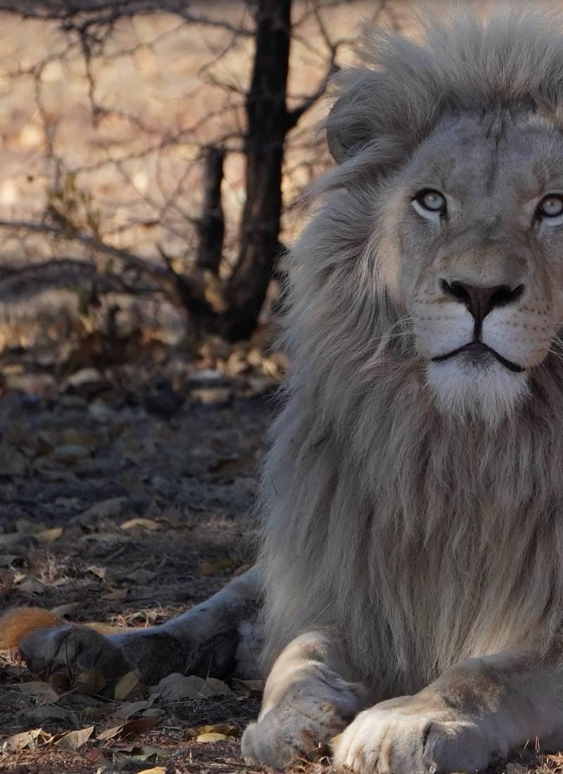 Ormanların Kralı Aslanlar! 27