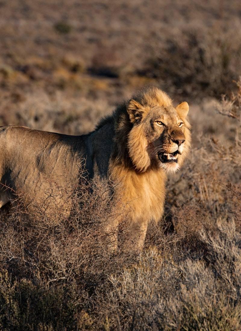 Ormanların Kralı Aslanlar! 3