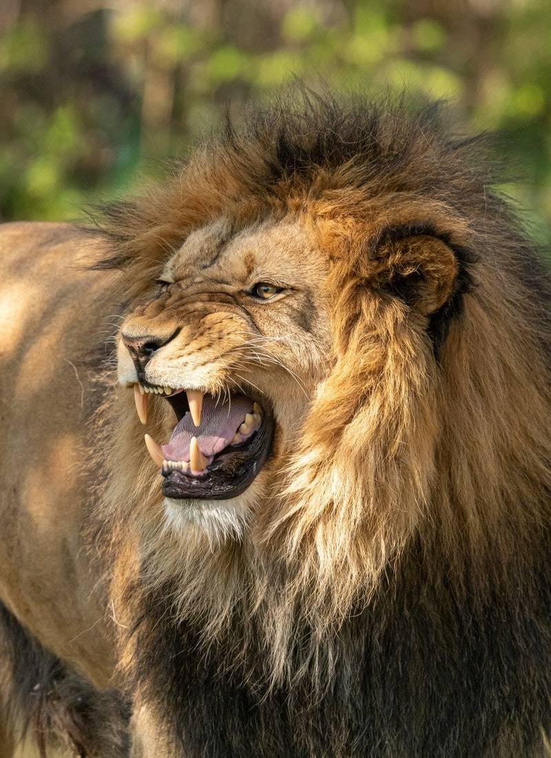 Ormanların Kralı Aslanlar! 32