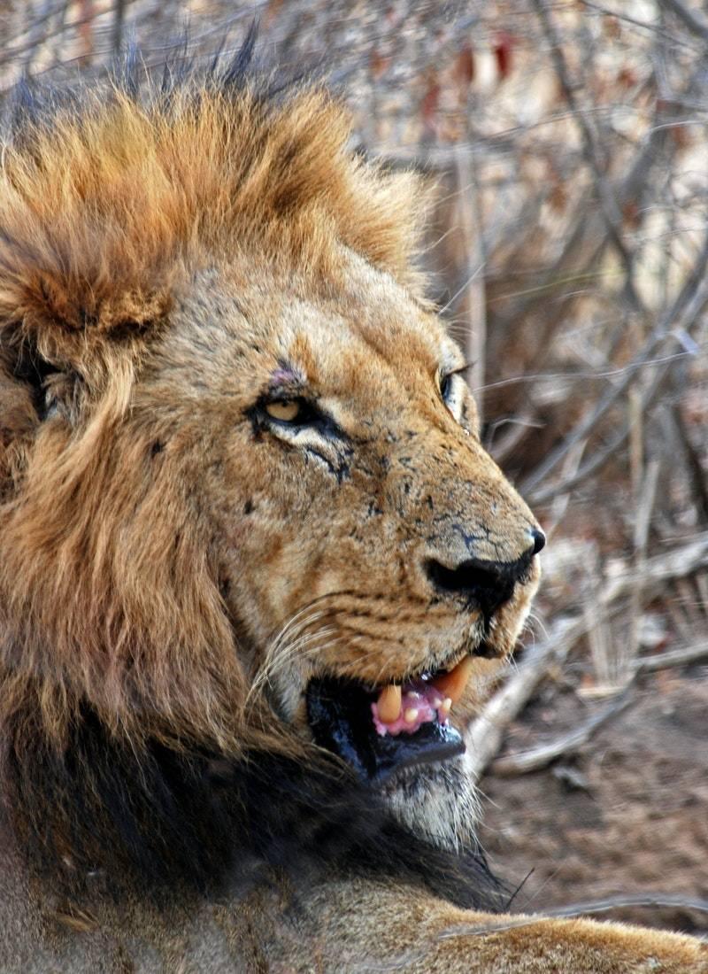 Ormanların Kralı Aslanlar! 42