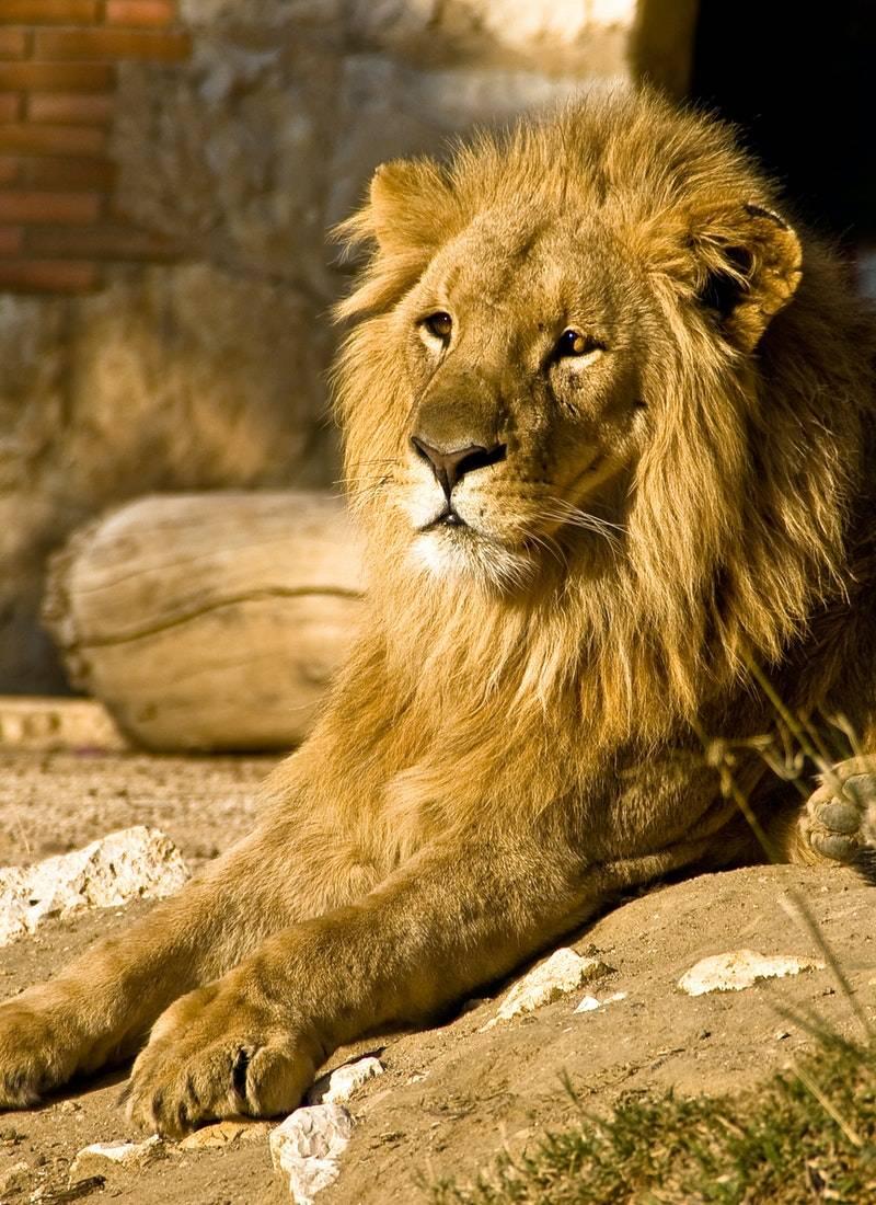 Ormanların Kralı Aslanlar! 43