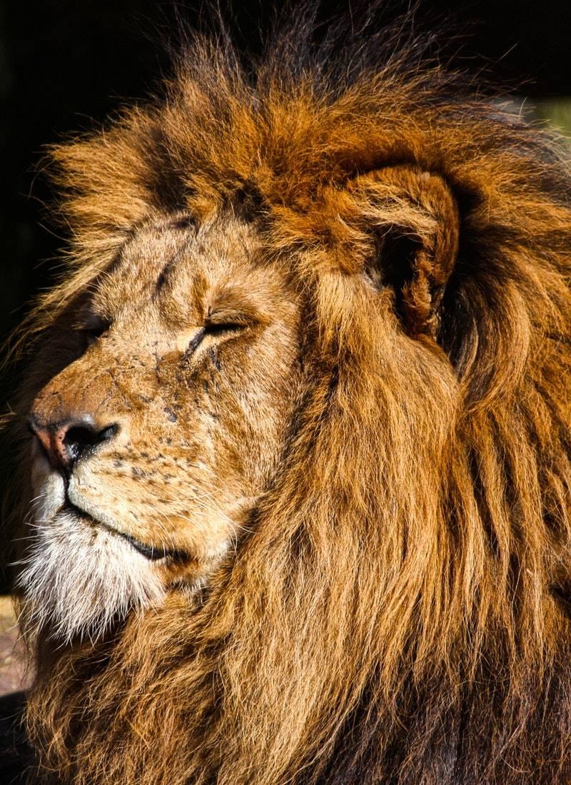 Ormanların Kralı Aslanlar! 44