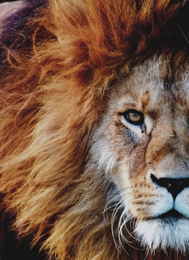 Ormanların Kralı Aslanlar! 46