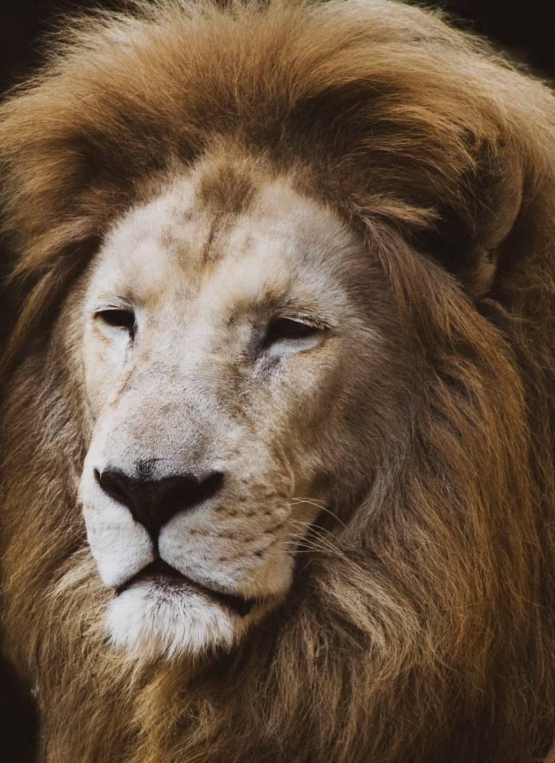 Ormanların Kralı Aslanlar! 8
