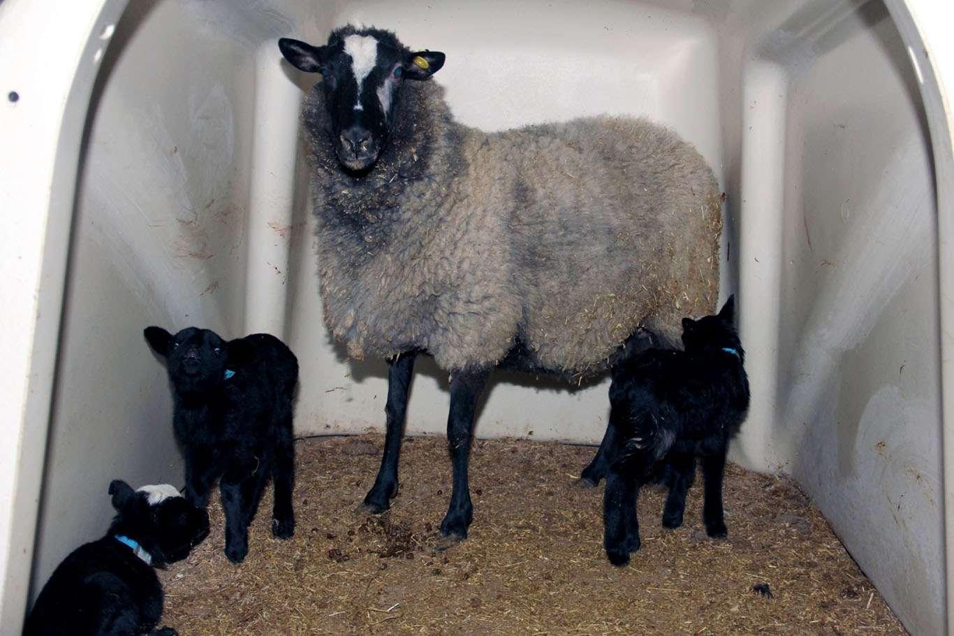 Romonov Cinsi Koyun Sezaryen İle Dördüz Doğum Yaptı Görenler Hayran Kaldı