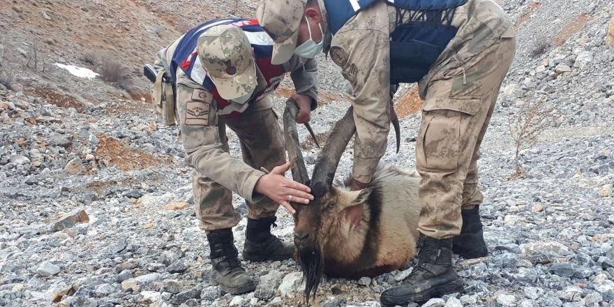 Adıyaman'da Ayağı Kırık Olarak Bulunan Dağ Keçisi Yetkililere Teslim Edildi