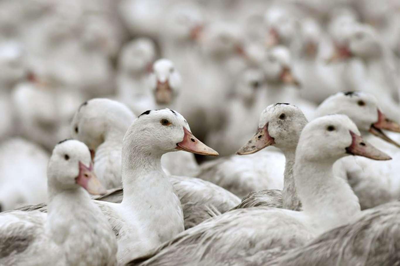 Medeniyetler Ülkesi Fransa 2 Milyon Ördeği İtlaf Etti